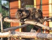 045. perska koteczka o imieniu SHIRA